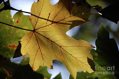 Photograph - Big Leaf Maple In Fall by Rose De Dan