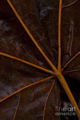 Photograph - Big Leaf Maple  by Jim Corwin