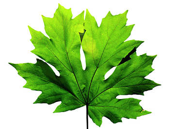 Photograph - Big Leaf Maple Leaf by Frank Wilson