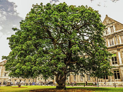 Photograph - Big Leaf Maple Trinity College by Lexa Harpell