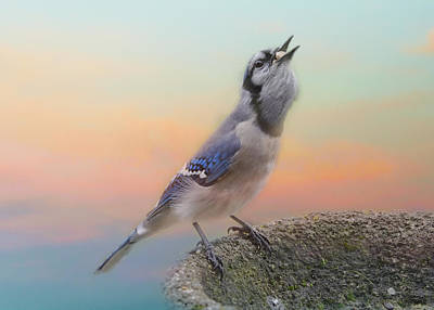 Bluejay Photograph - Big Mouthful by Susan Capuano