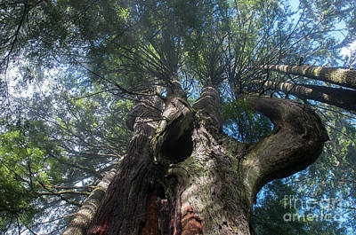 Photograph - Big Narly Cedar by Rod Wiens