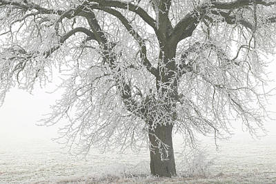 Photograph - Big Pear Tree In Hoar Frost by Martin Stankewitz