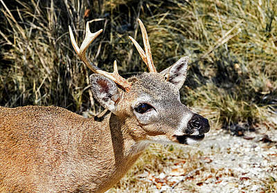 Photograph - Big Pine Key Deer by Bob Slitzan