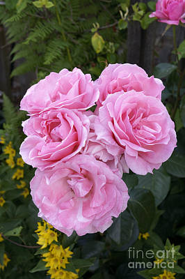 Photograph - Big Pink Roses by John  Mitchell