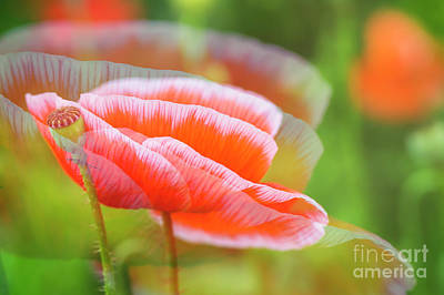 Abstract Flowers Royalty-Free and Rights-Managed Images - Big Poppy III by Veikko Suikkanen