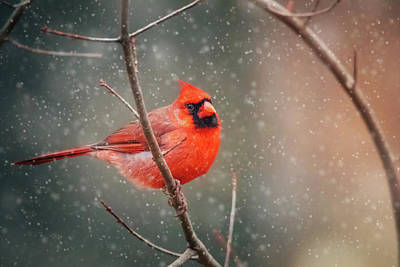 Photograph - Big Puffy Cardinal by Jessica Nelson