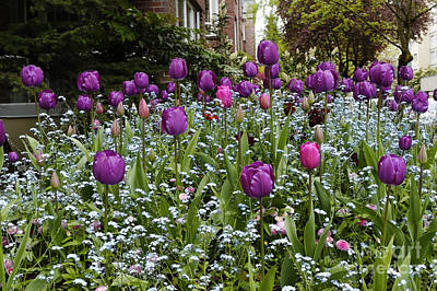 Photograph - Big Purple Tulips by John  Mitchell