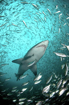 Underwater View Photograph - Big Raggie Swims Through Baitfish Shoal by Jean Tresfon