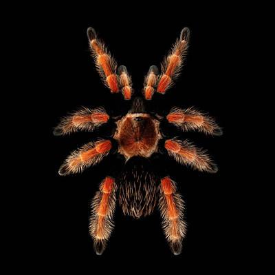Big Spider Brachypelma Boehmei Art Print