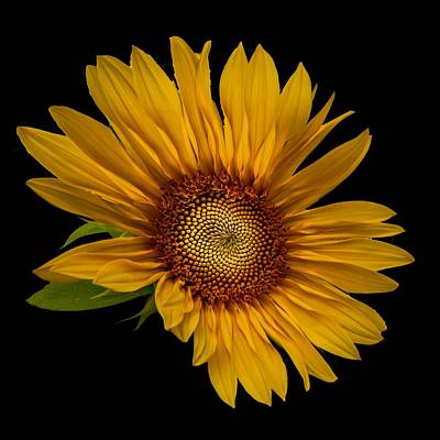 Photograph - Big Sunflower by Debra and Dave Vanderlaan