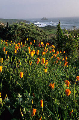 Big Sur Poppies Art Print by Eric Foltz