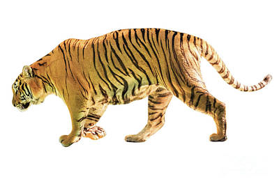 Photograph - Big Tiger Isolated by Benny Marty