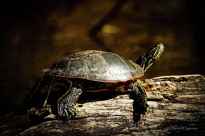 Photograph - Big Turtle by Steven Clipperton