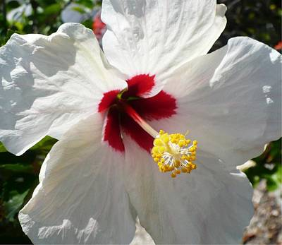Photograph - Big White Hibiscus by Florene Welebny
