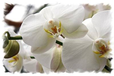Photograph - Big White Orchid by Lali Kacharava