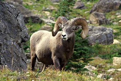 Winter Animals - Bighorn 1 by Marty Koch