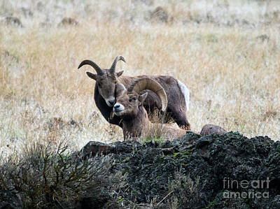 Ram Photograph - Bighorn Affection by Mike Dawson