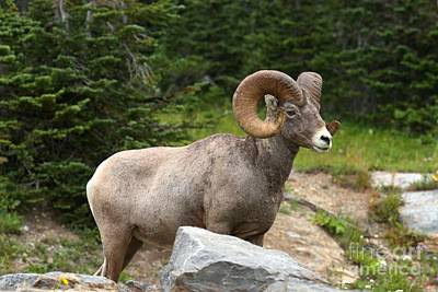 Photograph - Bighorn And A Boulder by Adam Jewell
