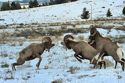 Photograph - Bighorn Clash by Adam Jewell