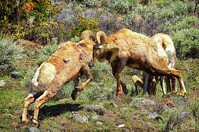 Photograph - Bighorn Contact by Greg Norrell