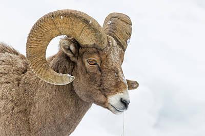 Rocky Mountain Sheep Photograph - Bighorn by Doug Oglesby