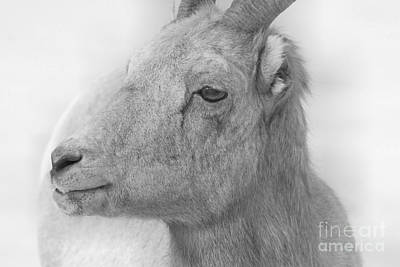 Photograph - Bighorn Ewe Portrait Black And White by Adam Jewell