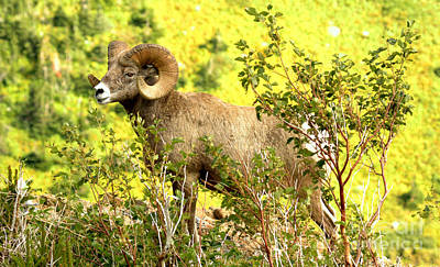 Photograph - Bighorn In The Brush by Adam Jewell