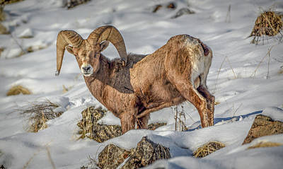 Photograph - Bighorn In The Snow by Jason Brooks