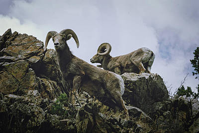 Photograph - Bighorn Pair by Jason Coward