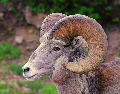 Photograph - Bighorn Portrait by Loree Johnson