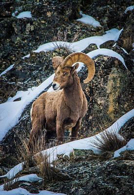 Bighorn Ram 2 Art Print