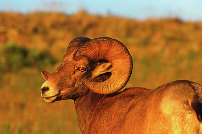 Bighorn Ram And The Sun's Last Rays Art Print by Jerry Voss