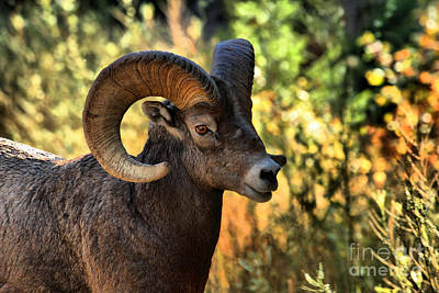 Photograph - Bighorn Ram At Waterton Lakes by Adam Jewell