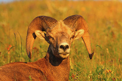 Bighorn Ram Bathed In The Magic Light Art Print by Jerry Voss