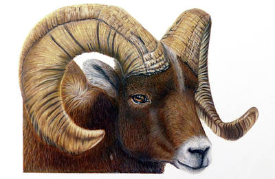Drawing - Bighorn Ram by Claire Fagan