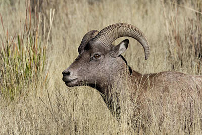 Photograph - Bighorn Ram Portrait by Kathleen Bishop