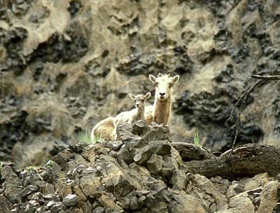 Photograph - Bighorn Sheep And Calf by John Burk