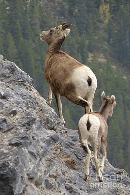 Photograph - Bighorn Sheep And Lamb by Frank Townsley