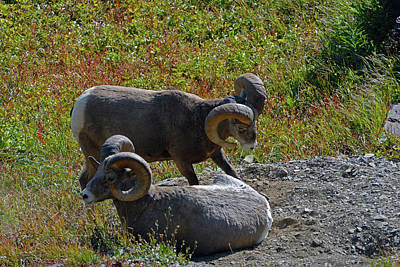 Photograph - Bighorn Sheep by Chris LeBoutillier