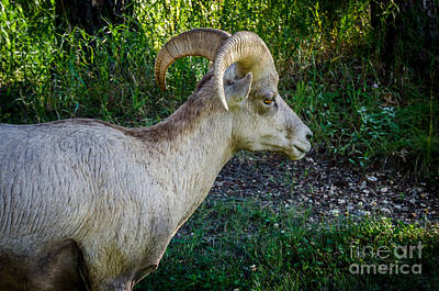 Photograph - Bighorn Sheep - Custer State Park by Debra Martz
