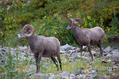 Photograph - Bighorn Sheep Glacier 1 by Jemmy Archer