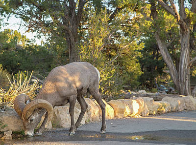 Photograph - Bighorn Sheep In Grand Canyon by Kunal Mehra