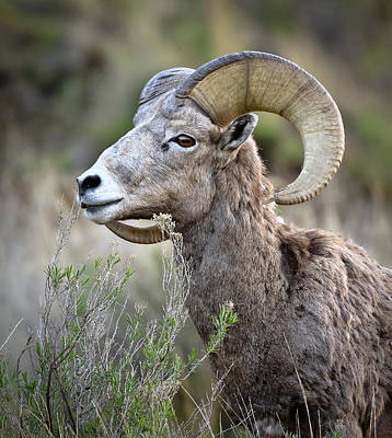 Photograph - Bighorn Sheep In The Wild by Athena Mckinzie