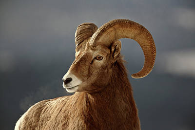 Ram Horn Digital Art - Bighorn Sheep In Winter by Mark Duffy