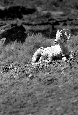 Photograph - Bighorn Sheep by Jeff Brunton