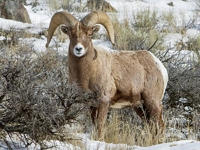 Yellowstone Digital Art - Bighorn Sheep by Jerry Fornarotto
