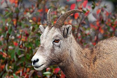 Photograph - Bighorn Sheep by Larry Ricker