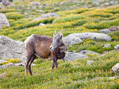 Steven Krull Royalty-Free and Rights-Managed Images - Bighorn Sheep on Mount Evans by Steven Krull