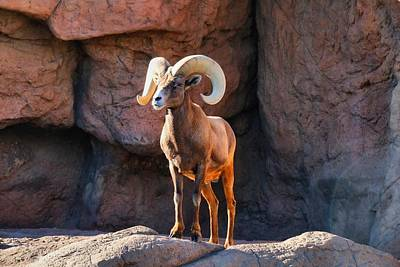 Photograph - Bighorn Sheep Ram 1 by Kathryn Meyer